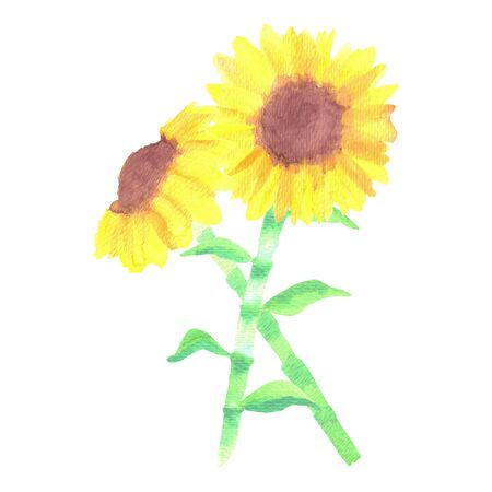 Sunflowers or Helianthus flowers a symbol of adoration and loyalty watercolor painting