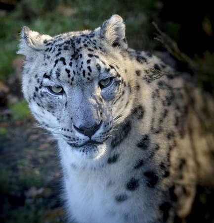 A Snow Leopard (Panthera uncia) photo