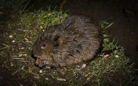 vole: A Water Vole feeding at night