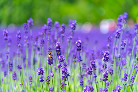 close-up violet Lavender flowers field in summer sunny day with soft focus blur background.