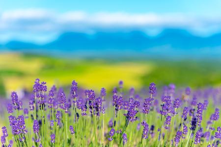 Gros plan champ de fleurs de lavande violette en journée ensoleillée d'été avec flou flou fond naturel. Banque d'images