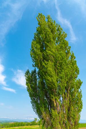Ken & Mary tree, un gran álamo. Lugar famoso en la ciudad de Biei, Hokkaido, Japón Foto de archivo