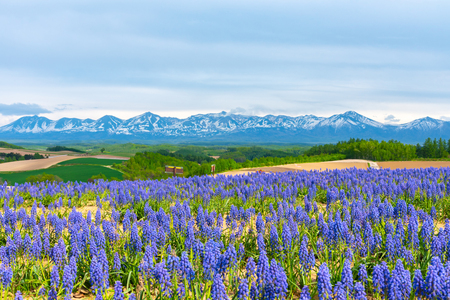 Grape Hyacinth Muscari armeniacum flower. Panoramic rural landscape with mountains. Vast blue sky and white clouds over farmland field in a beautiful sunny day in springtime.