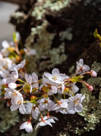 Close up beautiful full bloom pink white cherry blossoms flowers (sakura) in springtime. Stock Photo