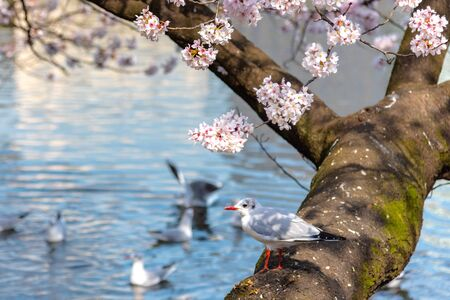 Close-up Black-headed gull birds (Chroicocephalus ridibundus) and cherry cherry blossoms full bloom in springtime sunny da y with natural background around Ueno park lake at Tokyo, Japan.