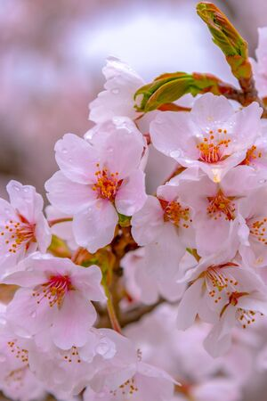 Close up full bloom beautiful pink cherry blossoms (sakura) in springtime sunny day with soft natural background Archivio Fotografico