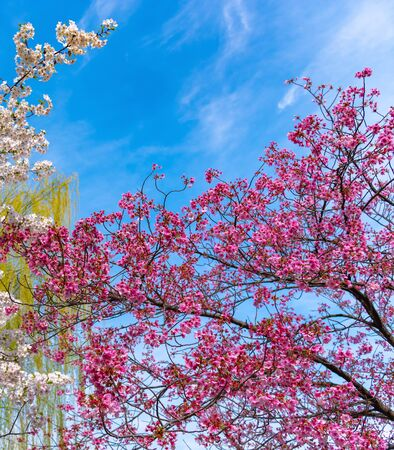 Close up full bloom beautiful pink cherry blossoms (sakura) in springtime sunny day with soft natural background Archivio Fotografico - 129488907