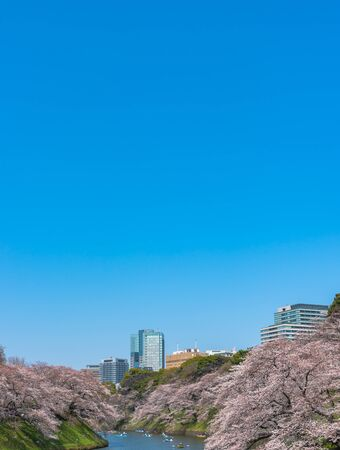 Cherry blossoms full bloom in spring season around Tokyo