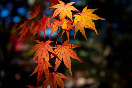 close-up colorful fall foliage in sunny day. beautiful autumn landscape background