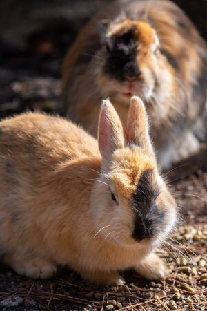 Cute wild rabbits on Okunoshima Island in sunny weaher, as known as the Rabbit Island. Numerous feral rabbits that roam the island, they are rather tame and will approach humans. Hiroshima, Japan.