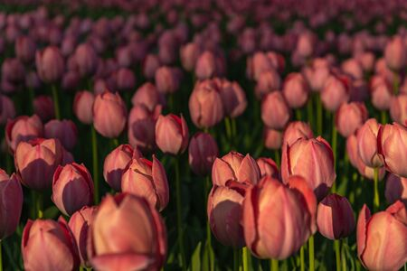 Colorful Tulip flower fields in springtime morning.