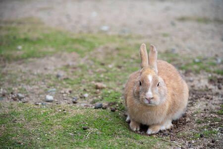 """Lindos conejos salvajes en la isla de Okunoshima en la soleada isla, conocida como la """"isla de los conejos"""". Numerosos conejos salvajes que deambulan por la isla, son bastante mansos y se acercarán a los humanos. Hiroshima, Japón."""