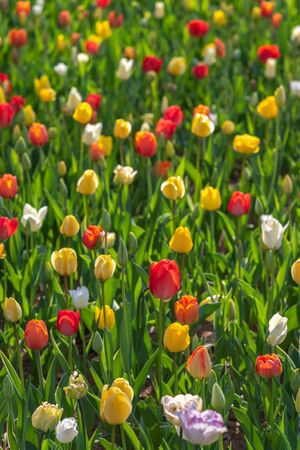 Colorful different types of Tulips flower fields.