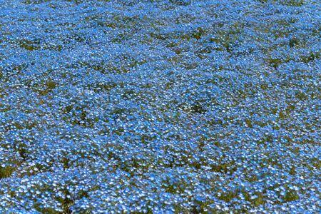 Nemophila (baby blue eyes flowers) flower field, blue flower carpet Imagens