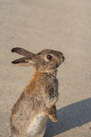 """Süße Wildkaninchen auf der Insel Okunoshima bei sonnigem Wetter, bekannt als """"Kanincheninsel"""". Zahlreiche wilde Kaninchen, die die Insel durchstreifen, sind eher zahm und nähern sich Menschen. Hiroshima, Japan. Standard-Bild"""