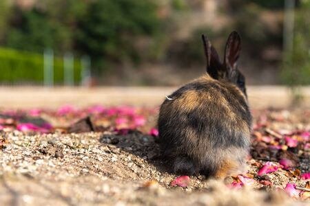 """Cute wild rabbits on Okunoshima Island in sunny weaher, as known as the """"Rabbit Island"""". Numerous feral rabbits that roam the island, they are rather tame and will approach humans. Hiroshima, Japan."""