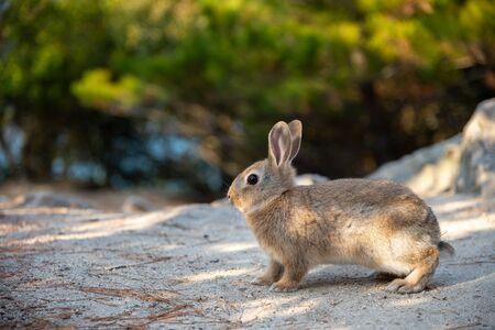 """Süße Wildkaninchen auf der Insel Okunoshima bei sonnigem Wetter, bekannt als """"Kanincheninsel"""". Zahlreiche wilde Kaninchen, die die Insel durchstreifen, sind eher zahm und nähern sich Menschen. Hiroshima, Japan."""