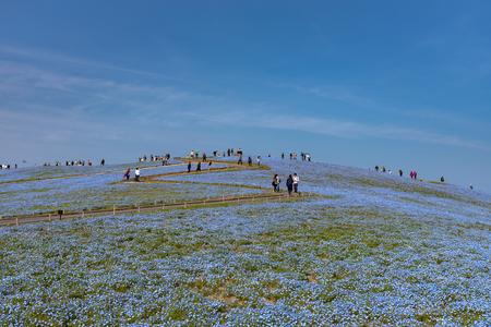 Mountain, Tree and Nemophila (baby blue eyes flowers) field, blue flower carpet, Japanese Natural Attraction. HitachiSeaside Park, Ibaraki, Japan. Editorial