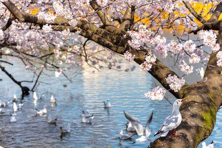 The black-headed gull (Chroicocephalus ridibundus) and cherry blossom in spring season Stok Fotoğraf