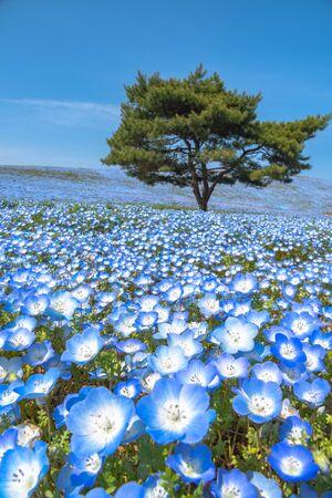 Mountain, Tree and Nemophila (baby blue eyes flowers) flower field. Archivio Fotografico