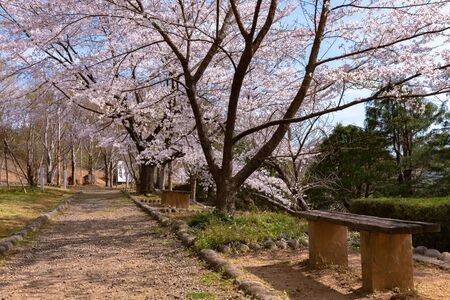 Cherry blossom and wooden bench in spring season. 報道画像