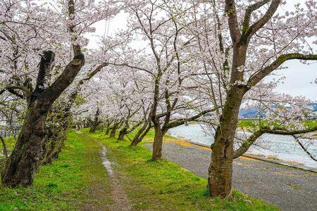 Enjoy the Beauty Full Bloom Sakura Trees Flowers.