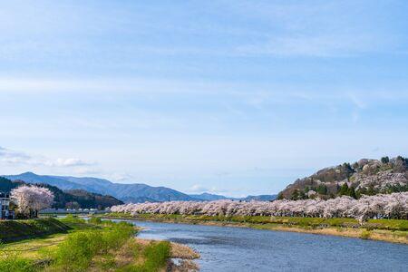 Hinokinai Riverbank in Springtime Cherry Blossom Season Rainy Day. Visitors Enjoy the Beauty Full Bloom Sakura Trees Flowers. Town Kakunodate, Semboku District, Akita Prefecture, Japan