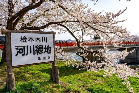 Hinokinai Riverbank in Springtime Cherry Blossom Season Sunny Day. Visitors Enjoy the Beauty Full Bloom Sakura Trees Flowers. Town Kakunodate, Semboku District, Akita Prefecture, Japan