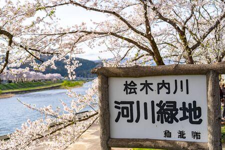 Hinokinai Riverbank in Springtime Cherry Blossom Season Morning Day. beauty full bloom pink sakura trees flowers. Kakunodate, Akita Prefecture, Japan. Translation Hinokinai River, Semboku City