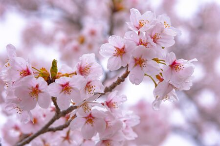 Cherry Blossom Will Start Blooming Around the Late March in Japan, Many Visitors to Japan Choose to Travel in Cherry Bloss om season.