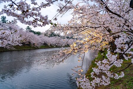 Hirosaki Park Cherry Blossoms Matsuri Festival in Springtime Season. Beauty full bloom pink sakura flowers light up at night in west moat. Aomori Reflection Region, Japan
