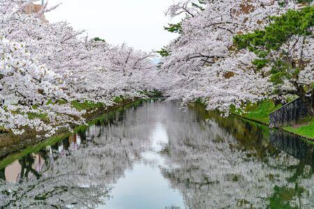 Hirosaki Park Cherry Blossoms Matsuri Festival in Springtime Season Beautiful Morning Day. Beauty full bloom pink sakura flowers at outer moat. Aomori Reflection Region, Japan
