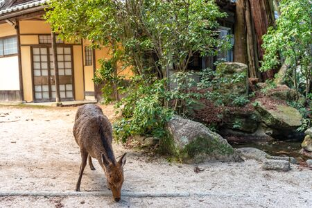 Close-up Deer relax in sunshine in the Miyajima on New Year Japanese Hatsumode holiday. In here, the deers are freely roaming around the island and not afraid to interact with visitors. Hiroshima city Stock Photo