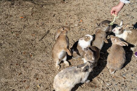 Feeding wild rabbits on Okunoshima ( Rabbit Island ). Numerous feral rabbits that roam the island, they are rather tame and will approach humans. Hiroshima Prefecture, Japan