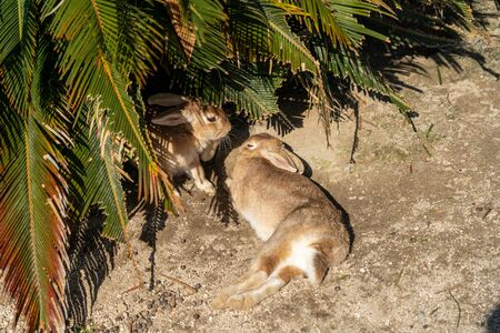 Cute wild rabbits on Okunoshima ( Rabbit Island ). Numerous feral rabbits that roam the island, they are rather tame and will approach humans. Hiroshima, Japan