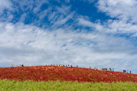 Crowded people going to the Miharashi Hill to see the red kochia bushes in the Hitachi Seaside Park. Kochia Carnival. Ibaraki Prefecture, Japan. Stock fotó - 151309024