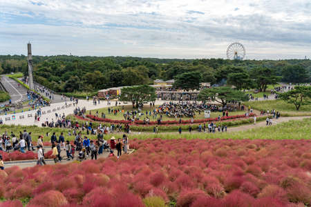 Crowded people going to the Miharashi Hill to see the red kochia bushes in the Hitachi Seaside Park. Kochia Carnival. Ibaraki Prefecture, Japan. Stock fotó - 151309006