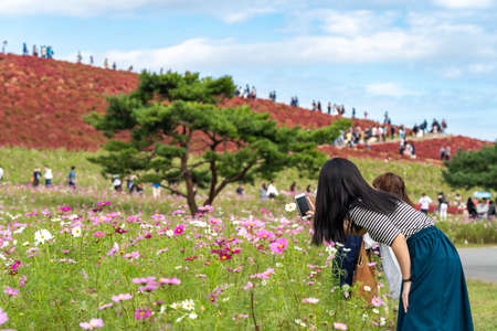 Tourists taking pictures on the Miharashi Hill in the Hitachi Seaside Park during the Red Kochia Carnival. Ibaraki Prefecture, Japan. Stock fotó - 151309003