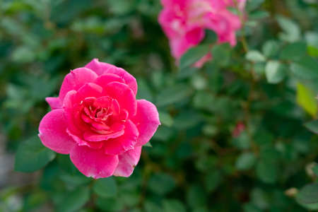 Colorful Roses blooming in the garden. Close-up shot, blurred background.