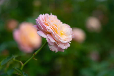 Colorful Roses blooming in the garden. Close-up shot, blurred background. Stock fotó - 151340046