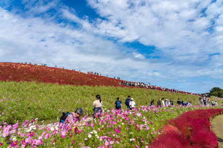 Crowded people going to the Miharashi Hill to see the red kochia bushes in the Hitachi Seaside Park. Kochia Carnival. Ibaraki Prefecture, Japan.