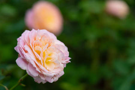 Colorful Roses blooming in the garden. Close-up shot, blurred background. Stock fotó - 151340413