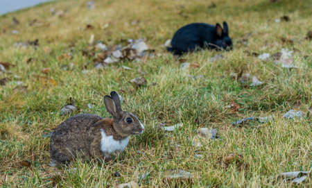 Close-up cute wild rabbits foraging in the grass. The Bunnies of Canmore, numerous feral rabbits that roam the town. Alberta, Canada. Stock fotó