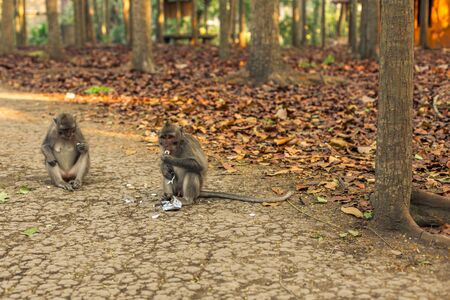 Two long-tailed macaque monkeys sitting down eating candy sweets at the monkey forest sanctuary in Ubud, Bali, Indonesia Stock Photo - 127538609