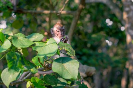 A young macaque monkey focusing on something in its hand at the Monkey Forest Sanctuary in Ubud, Bali, Indonesia Stock Photo