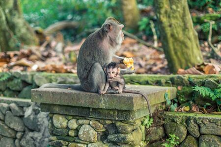 A macaque monkey sat with a baby while eating at the Monkey Forest in Ubud, Bali, Indonesia Stock Photo