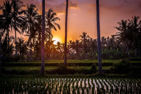 Gorgeous sunset over a rice field in Bali, Indonesia