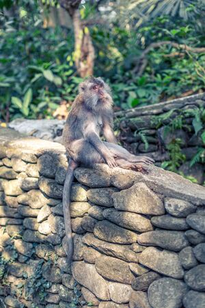 A macaque monkey sat on a wall with legs crossed on a wall at the Monkey Forest Sanctuary in Ubud, Bali, Indonesia Stock Photo