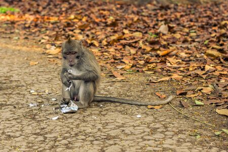 long-tailed macaque monkey sitting down eating candy sweets at the monkey forest sanctuary in Ubud, Bali, Indonesia
