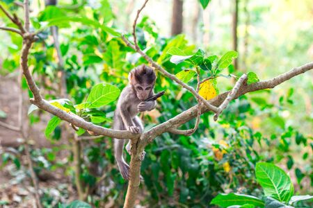 A young monkey with the fruit pod from a Samanea saman at the Monkey Forest Sanctuary in Ubud, Bali, Indonesia Stock Photo